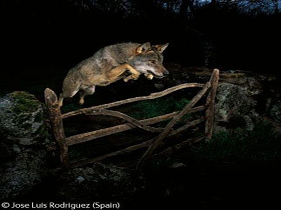Conclusão Queda vez mais o Homem esta a contribuir para o extermínio do Lobo Ibérico, voluntariamente(armadilhas, envenenamento, perseguição direta…), também involuntariamente(construção de infraestruturas, atropelamento, captura das suas presas mais fáceis…).