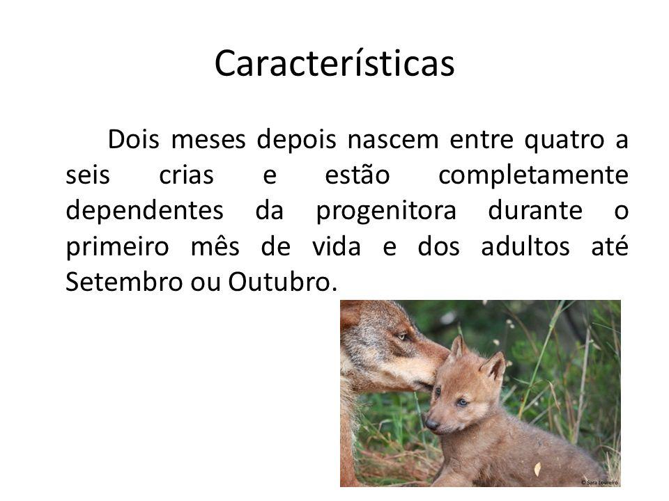 Características Dois meses depois nascem entre quatro a seis crias e estão completamente dependentes da progenitora durante o primeiro mês de vida e d