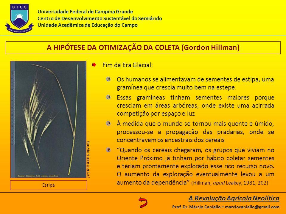 A HIPÓTESE DA OTIMIZAÇÃO DA COLETA (Gordon Hillman) Fim da Era Glacial: Os humanos se alimentavam de sementes de estipa, uma gramínea que crescia muit