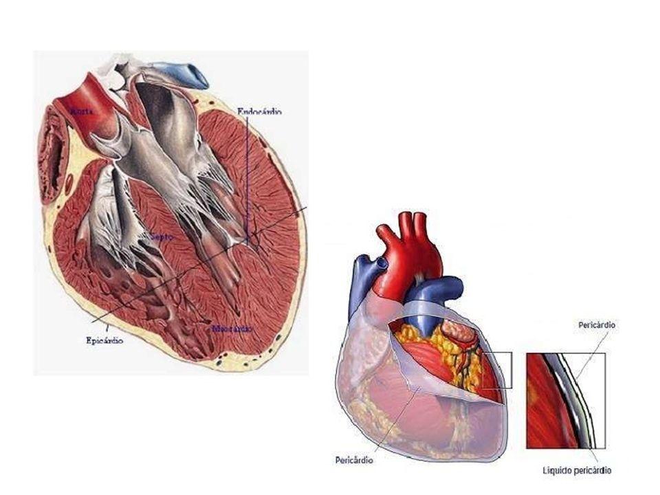 O coração humano, está dividido em quatro cavidades: Átrio direito e átrio esquerdo, em sua parte superior; Ventrículo direito e ventrículo esquerdo, em sua parte inferior.