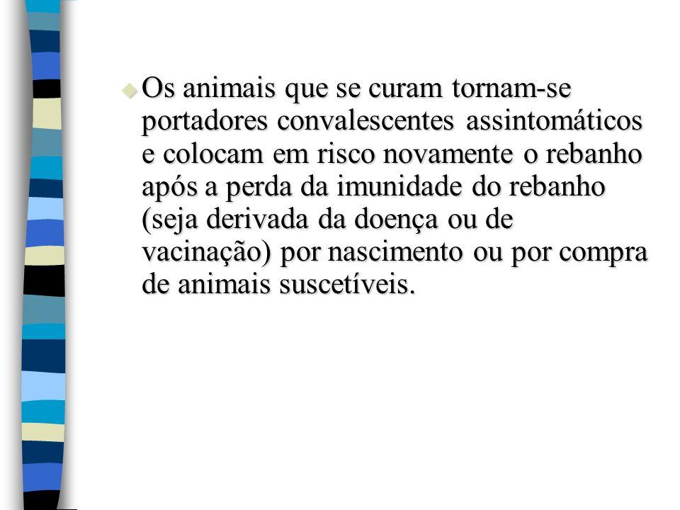Os animais que se curam tornam-se portadores convalescentes assintomáticos e colocam em risco novamente o rebanho após a perda da imunidade do rebanho