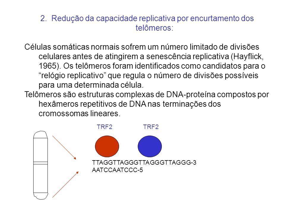 2. Redução da capacidade replicativa por encurtamento dos telômeros: Células somáticas normais sofrem um número limitado de divisões celulares antes d