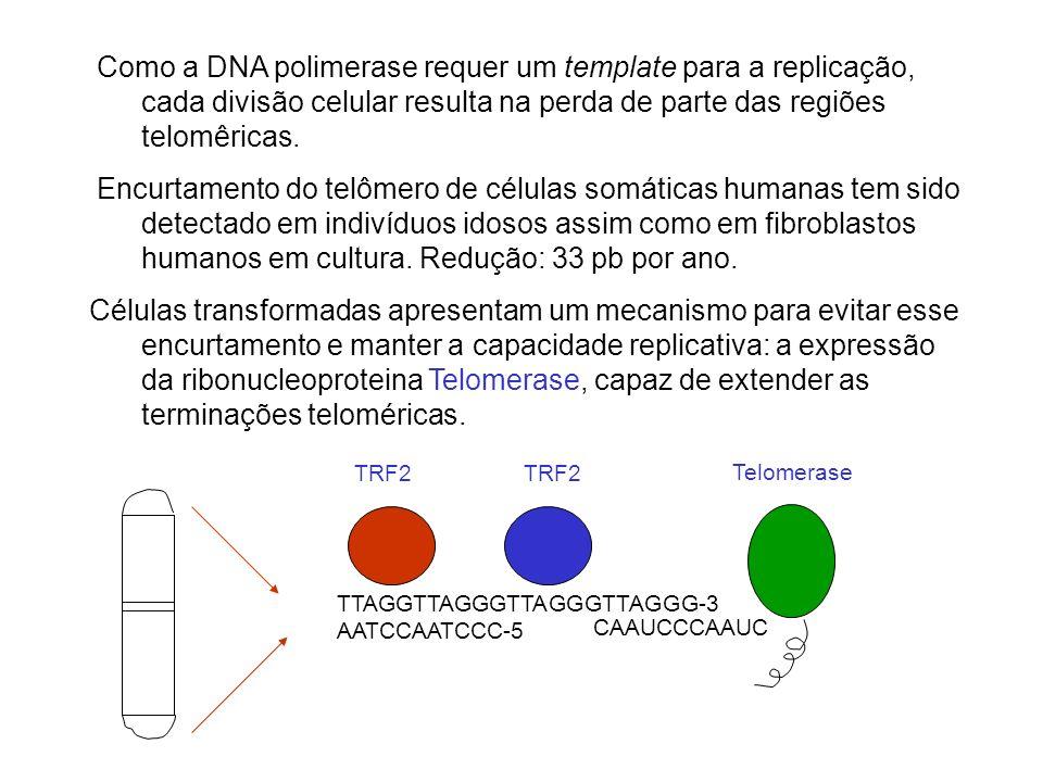Como a DNA polimerase requer um template para a replicação, cada divisão celular resulta na perda de parte das regiões telomêricas. Encurtamento do te