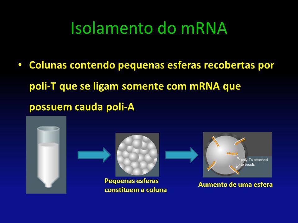 Isolamento do mRNA Colunas contendo pequenas esferas recobertas por poli-T que se ligam somente com mRNA que possuem cauda poli-A Pequenas esferas con