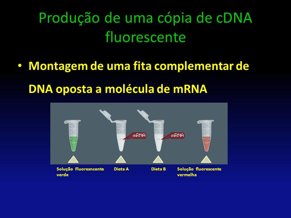 Produção de uma cópia de cDNA fluorescente Montagem de uma fita complementar de DNA oposta a molécula de mRNA Solução Fluoresncente verde Solução fluo