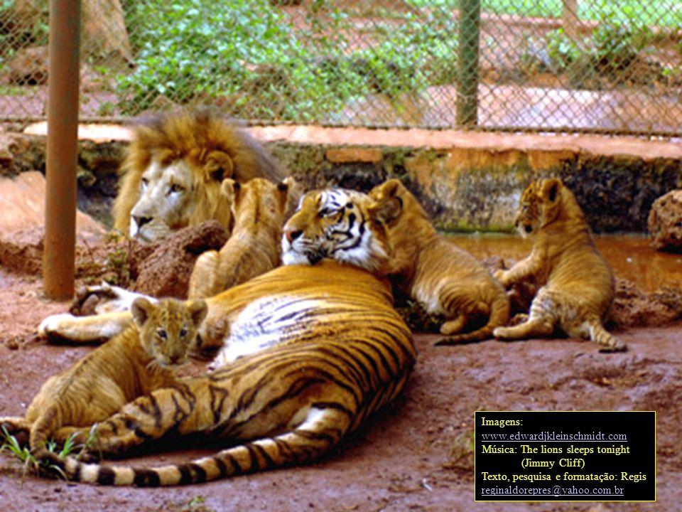 Isso porque nos leões essa é uma herança materna, e nos tigres é paterna, portanto os ligres não recebem esses genes.