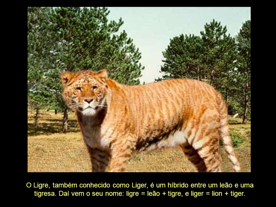O Ligre, também conhecido como Liger, é um híbrido entre um leão e uma tigresa.