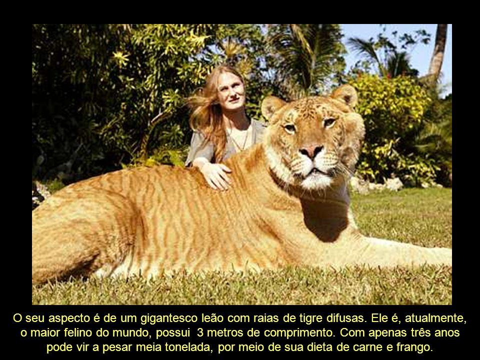 O Ligre, também conhecido como Liger, é um híbrido entre um leão e uma tigresa. Daí vem o seu nome: ligre = leão + tigre, e liger = lion + tiger.