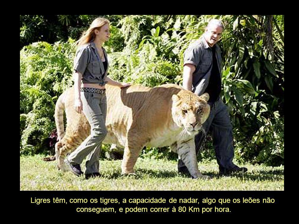 Ligres têm, como os tigres, a capacidade de nadar, algo que os leões não conseguem, e podem correr à 80 Km por hora.