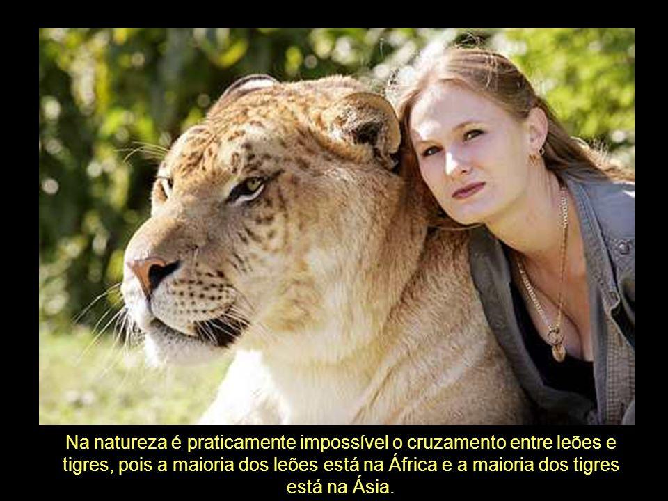 Na natureza é praticamente impossível o cruzamento entre leões e tigres, pois a maioria dos leões está na África e a maioria dos tigres está na Ásia.