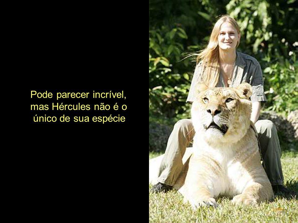 Não planejamos ter Ligres Afirma o Dr. Bhagavan Antle, proprietário do instituto da espécie em Miami, Flórida. Nós temos leões e tigres que vivem junt