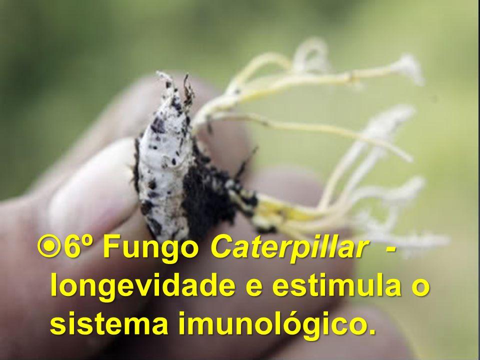 6º Fungo Caterpillar - longevidade e estimula o sistema imunológico. 6º Fungo Caterpillar - longevidade e estimula o sistema imunológico.