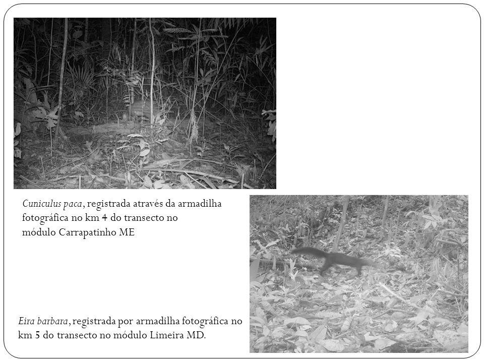 Cuniculus paca, registrada através da armadilha fotográfica no km 4 do transecto no módulo Carrapatinho ME Eira barbara, registrada por armadilha foto