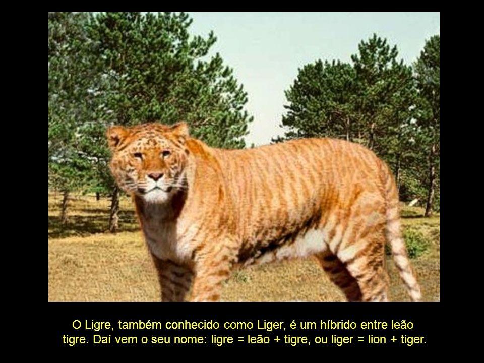 O Ligre, também conhecido como Liger, é um híbrido entre leão tigre.