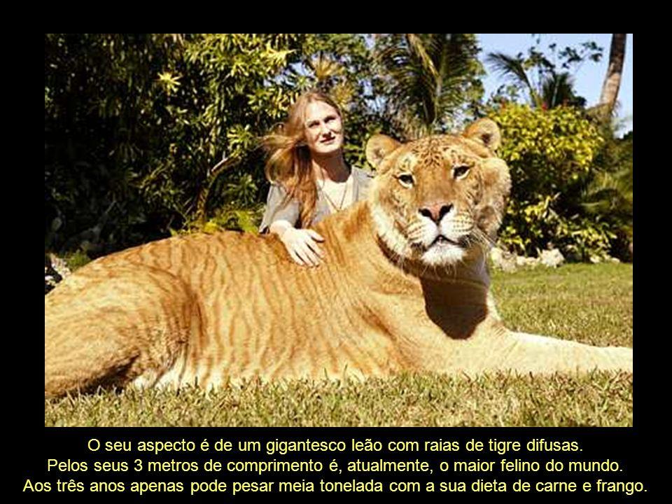 O Ligre, também conhecido como Liger, é um híbrido entre leão tigre. Daí vem o seu nome: ligre = leão + tigre, ou liger = lion + tiger.