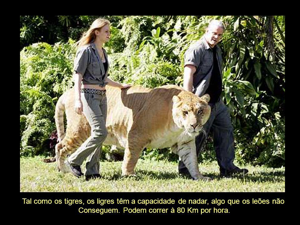 Tal como os tigres, os ligres têm a capacidade de nadar, algo que os leões não Conseguem.