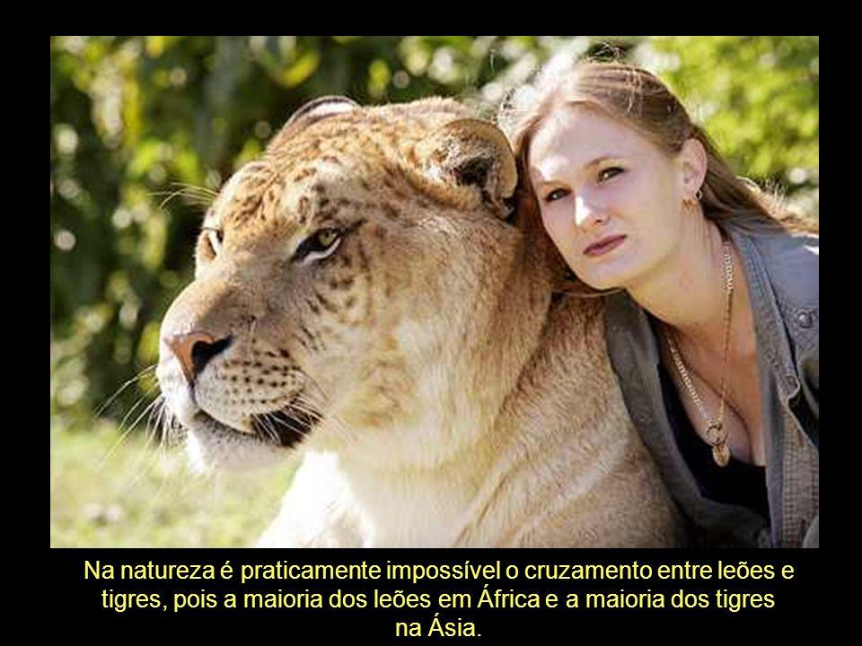 Na natureza é praticamente impossível o cruzamento entre leões e tigres, pois a maioria dos leões em África e a maioria dos tigres na Ásia.