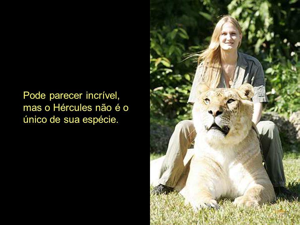 Não planeámos ter Ligres Afirma o Dr. Bhagavan Antle, pro- prietário do instituto da espécie em Miami, Flórida. Nós temos leões e tigres que vivem jun