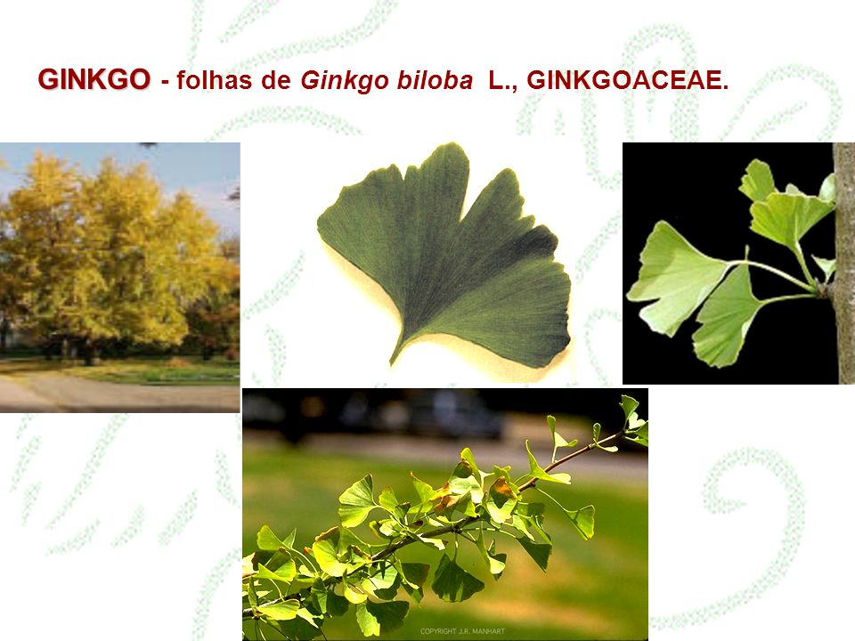 GINKGO GINKGO - folhas de Ginkgo biloba L., GINKGOACEAE.