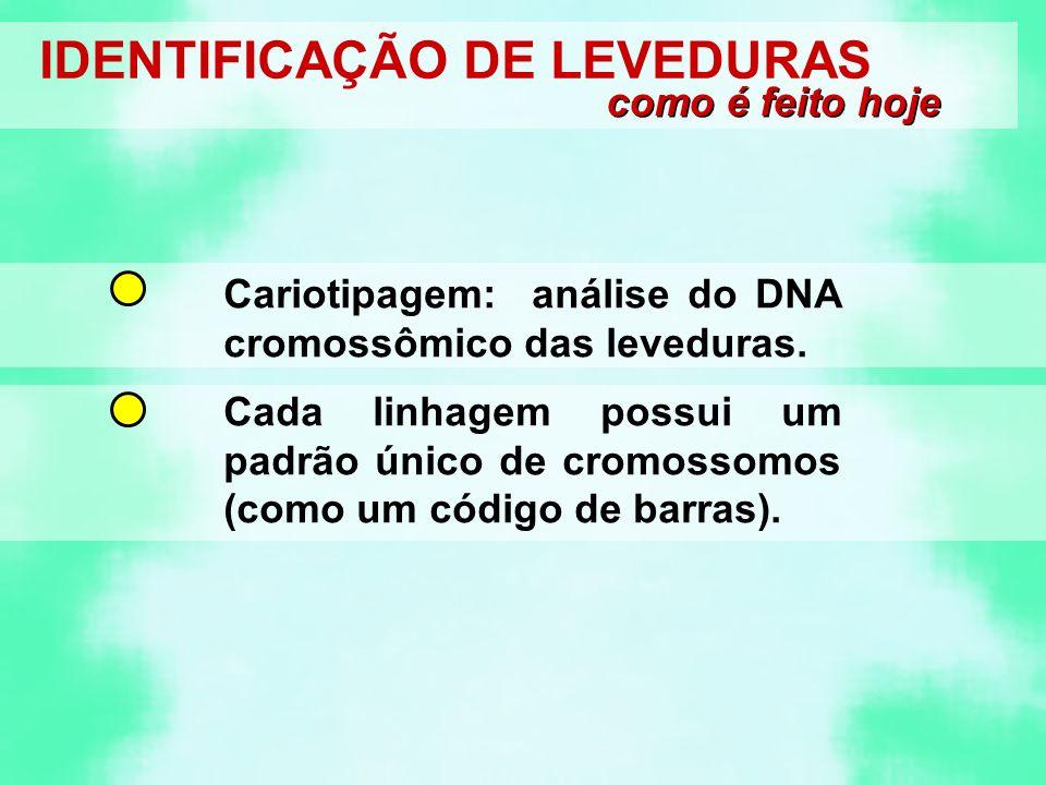 IDENTIFICAÇÃO DE LEVEDURAS como é feito hoje Cariotipagem: análise do DNA cromossômico das leveduras. Cada linhagem possui um padrão único de cromosso