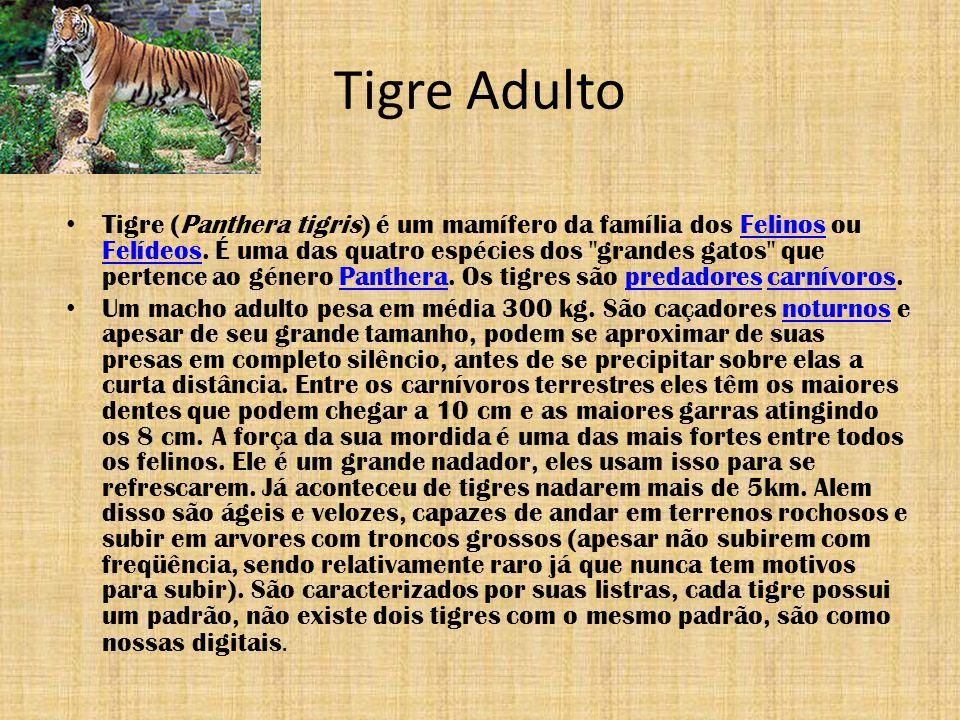 Tigre Adulto Tigre (Panthera tigris) é um mamífero da família dos Felinos ou Felídeos. É uma das quatro espécies dos