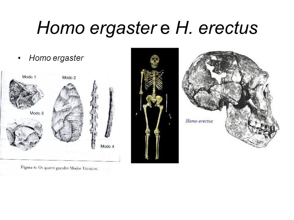 Homo ergaster e H. erectus Homo ergaster