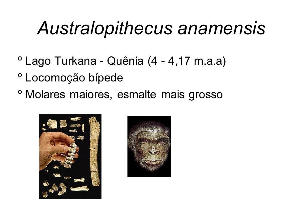 Australopithecus afarensis º Tanzânia e Etiópia (4 - 2,9 m.a.a) º Bípedes, escalavam árvores º 1,35m e 40Kg – machos; 105cm e 35 KG – fêmeas º Lucy – 500cc, capacidade craniana (Homem moderno – 1.400-1.300cc em média)