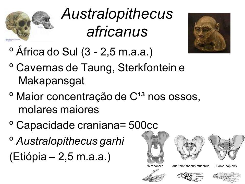 Australopithecus africanus º África do Sul (3 - 2,5 m.a.a.) º Cavernas de Taung, Sterkfontein e Makapansgat º Maior concentração de C¹³ nos ossos, mol