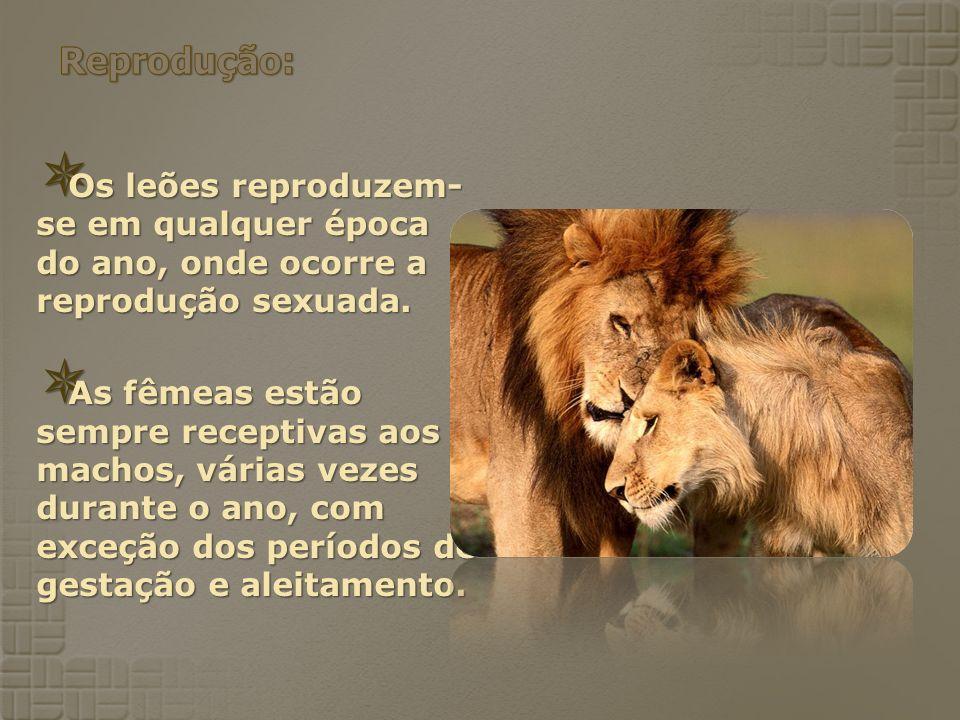 Os leões reproduzem- se em qualquer época do ano, onde ocorre a reprodução sexuada. Os leões reproduzem- se em qualquer época do ano, onde ocorre a re