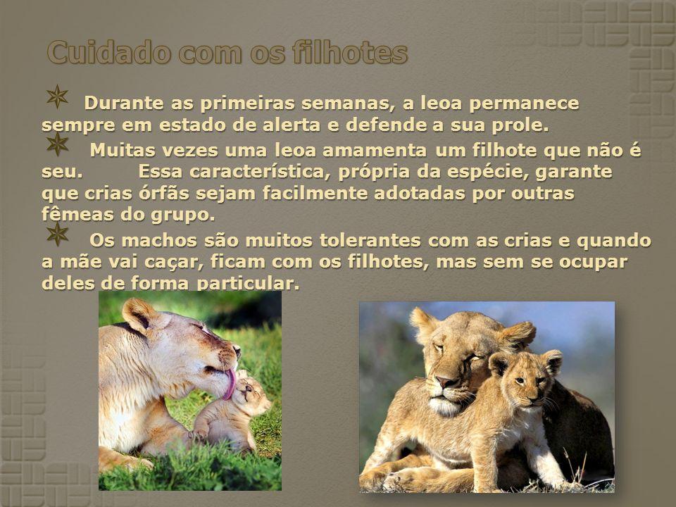 Durante as primeiras semanas, a leoa permanece sempre em estado de alerta e defende a sua prole. Muitas vezes uma leoa amamenta um filhote que não é s