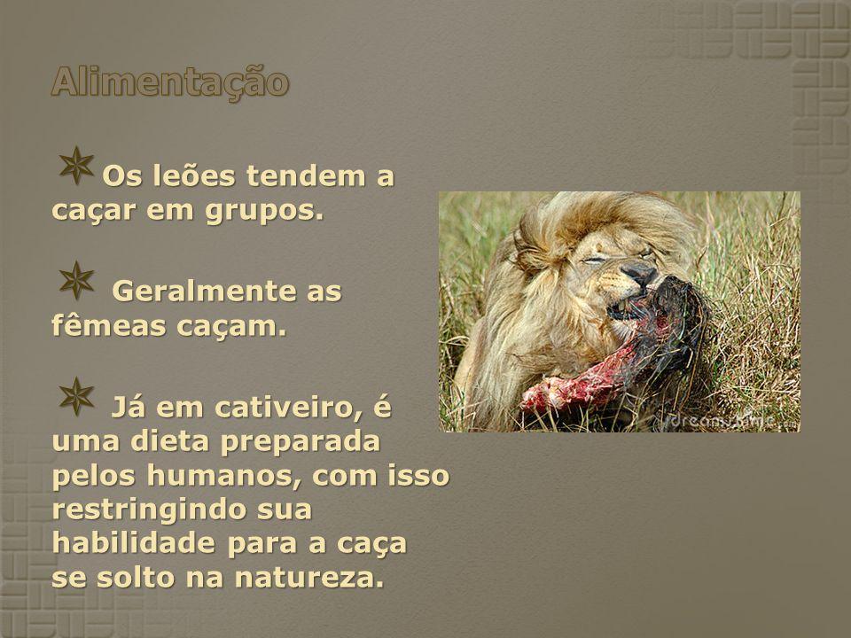 Os leões tendem a caçar em grupos. Os leões tendem a caçar em grupos. Geralmente as fêmeas caçam. Geralmente as fêmeas caçam. Já em cativeiro, é uma d