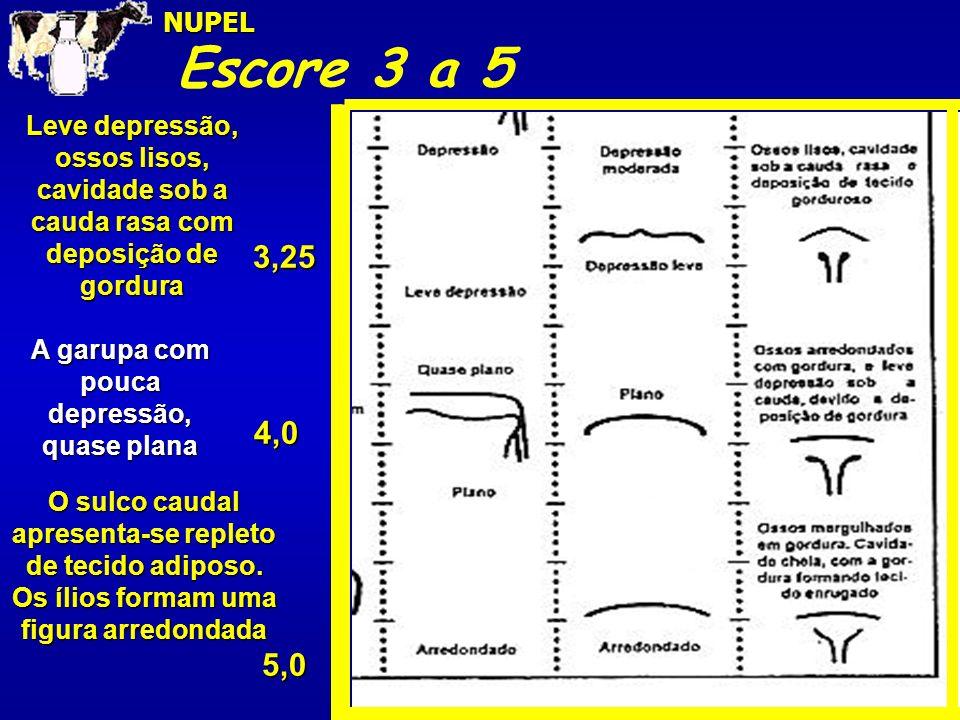 Escore 3 a 5NUPEL5,0 4,0 3,25 Leve depressão, ossos lisos, cavidade sob a cauda rasa com deposição de gordura A garupa com pouca depressão, quase plan