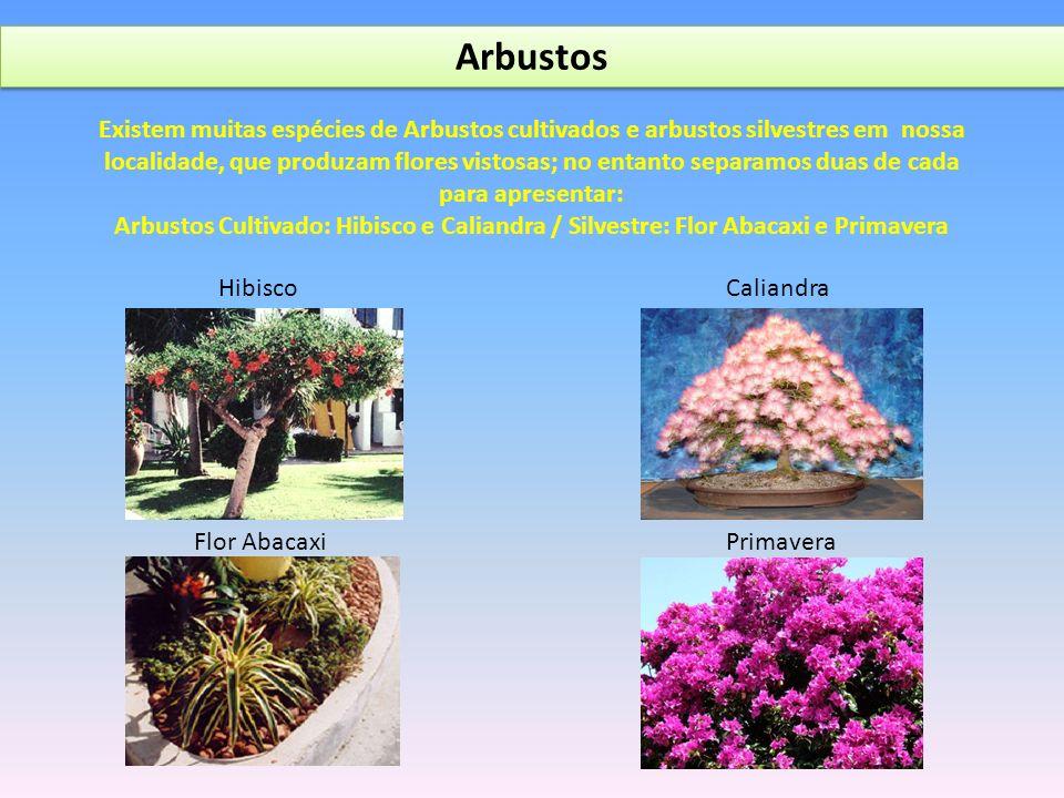 Arbustos CaliandraHibisco Flor AbacaxiPrimavera Existem muitas espécies de Arbustos cultivados e arbustos silvestres em nossa localidade, que produzam flores vistosas; no entanto separamos duas de cada para apresentar: Arbustos Cultivado: Hibisco e Caliandra / Silvestre: Flor Abacaxi e Primavera