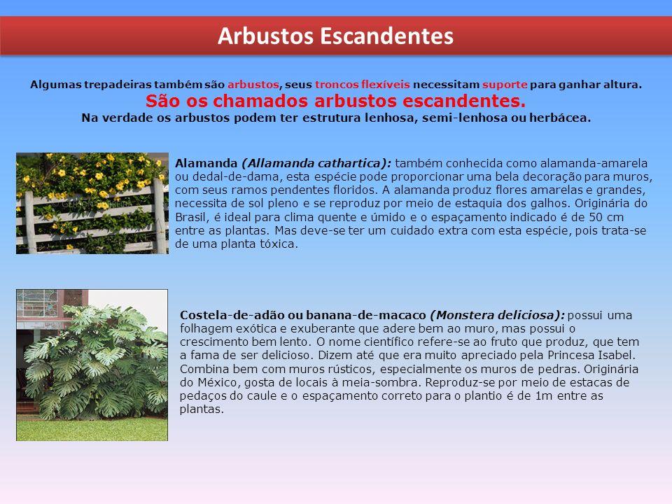 Arbustos Escandentes Alamanda (Allamanda cathartica): também conhecida como alamanda-amarela ou dedal-de-dama, esta espécie pode proporcionar uma bela decoração para muros, com seus ramos pendentes floridos.