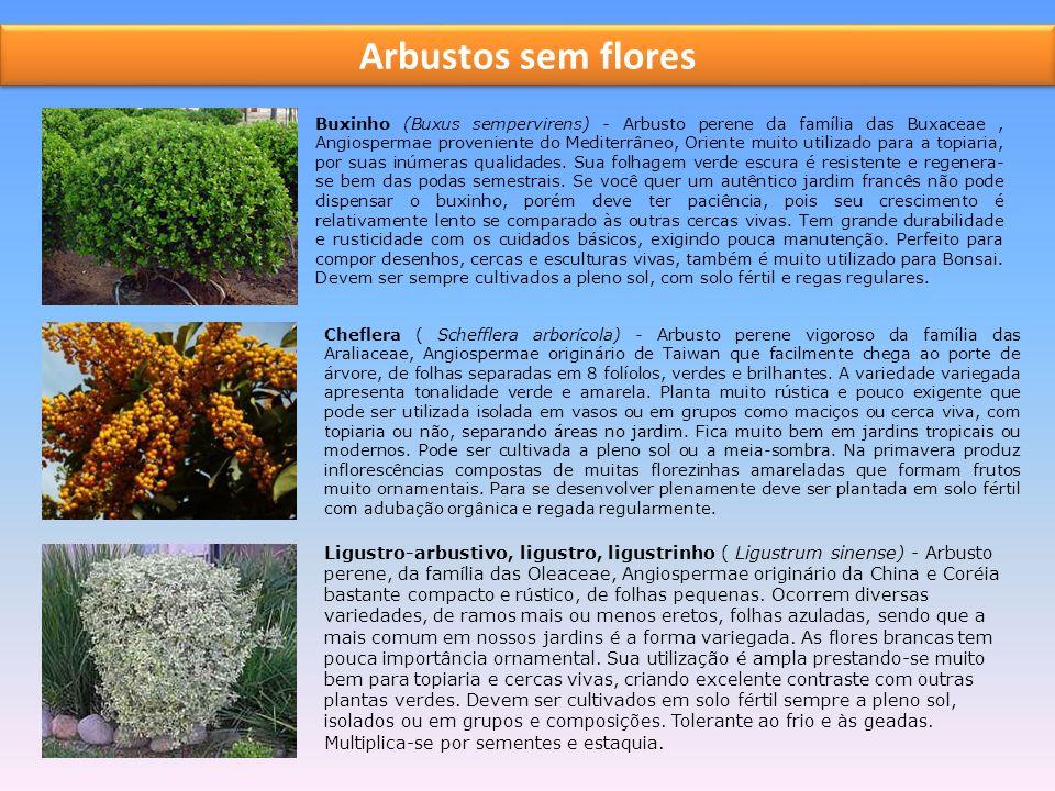 Arbustos sem flores Buxinho (Buxus sempervirens) - Arbusto perene da família das Buxaceae, Angiospermae proveniente do Mediterrâneo, Oriente muito utilizado para a topiaria, por suas inúmeras qualidades.