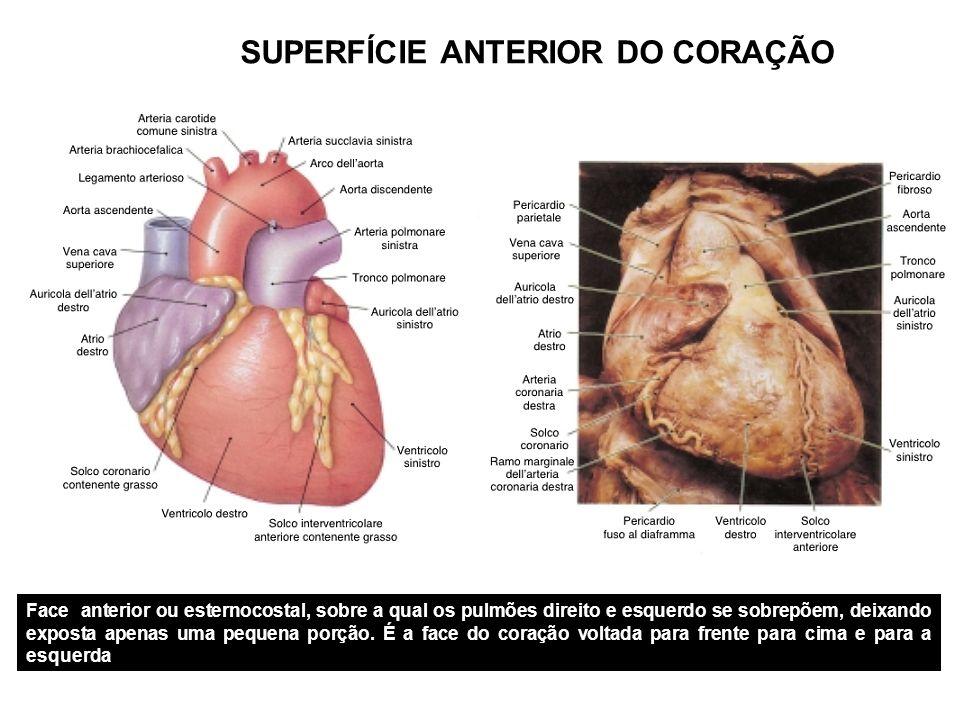 SUPERFÍCIE ANTERIOR DO CORAÇÃO Face anterior ou esternocostal, sobre a qual os pulmões direito e esquerdo se sobrepõem, deixando exposta apenas uma pequena porção.