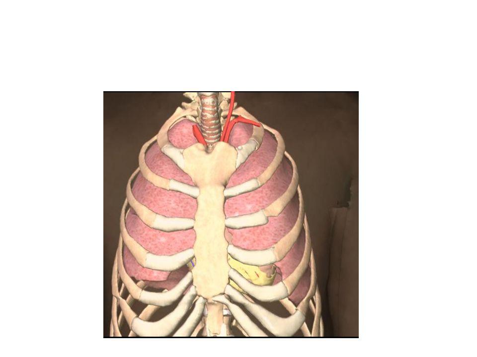 Os órgãos e estruturas contidas no interior da cavidade torácica, além do coração, são os seguintes: Os pulmões - são em número de dois, o direito contém três lobos e o esquerdo dois.