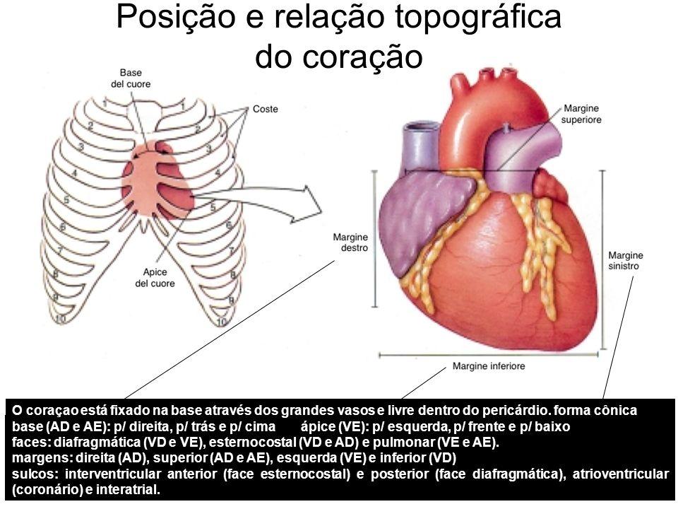 coração é um órgão muscular em forma de cone, contendo quatro câmaras internas e que fica posicionado dentro do saco pericárdico e abrigado bilateralmente pelos pulmões.