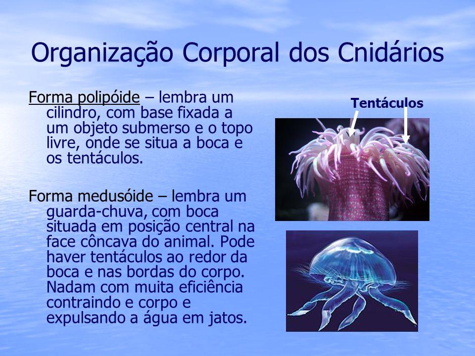 Organização Corporal dos Cnidários Forma polipóide – lembra um cilindro, com base fixada a um objeto submerso e o topo livre, onde se situa a boca e o