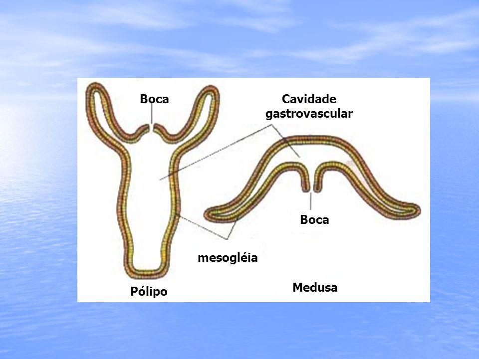 Cavidade gastrovascular mesogléia Pólipo Medusa Boca