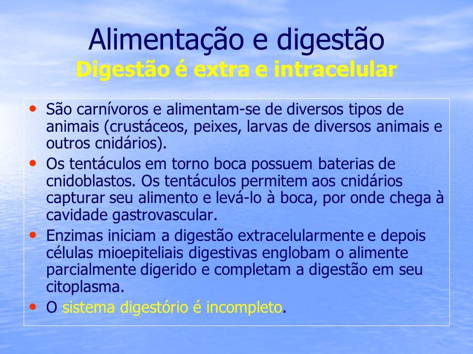 Alimentação e digestão Digestão é extra e intracelular São carnívoros e alimentam-se de diversos tipos de animais (crustáceos, peixes, larvas de diver