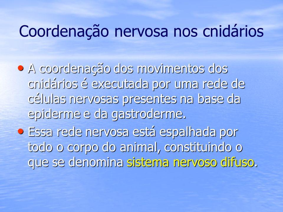Coordenação nervosa nos cnidários A coordenação dos movimentos dos cnidários é executada por uma rede de células nervosas presentes na base da epiderm