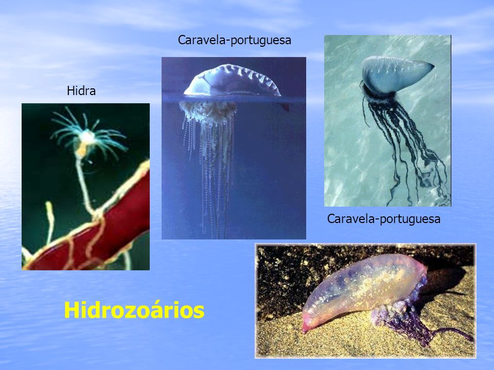 Hidrozoários Caravela-portuguesa Hidra Caravela-portuguesa