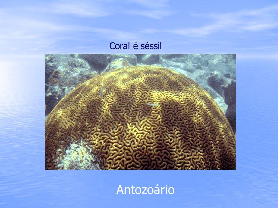 Antozoário Coral é séssil