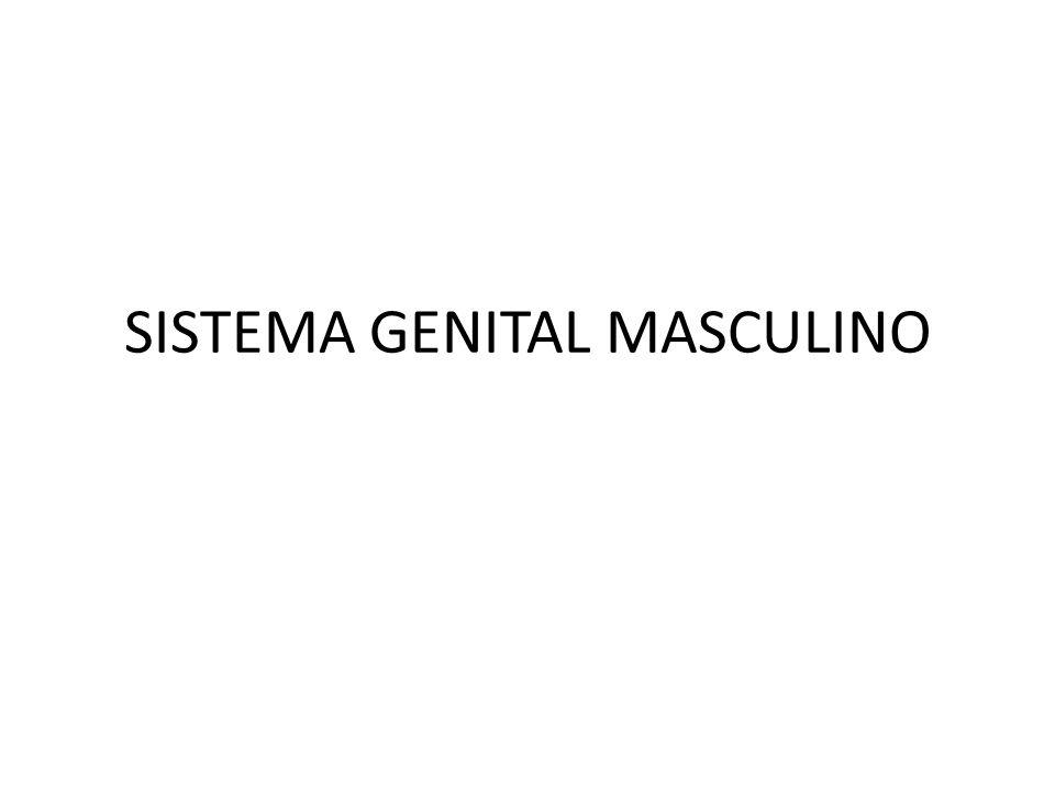 * Testículos (bolsa escrotal) * Epidídimo * Ducto deferente * Glândulas acessórias * Uretra * Pênis (prepúcio)