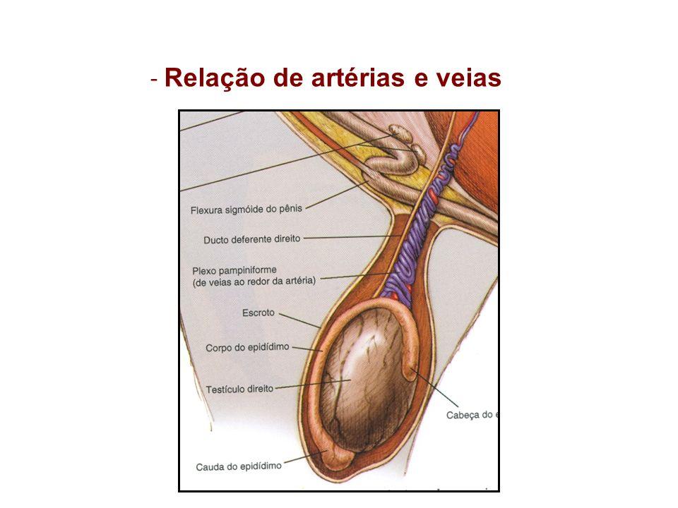 - Relação de artérias e veias