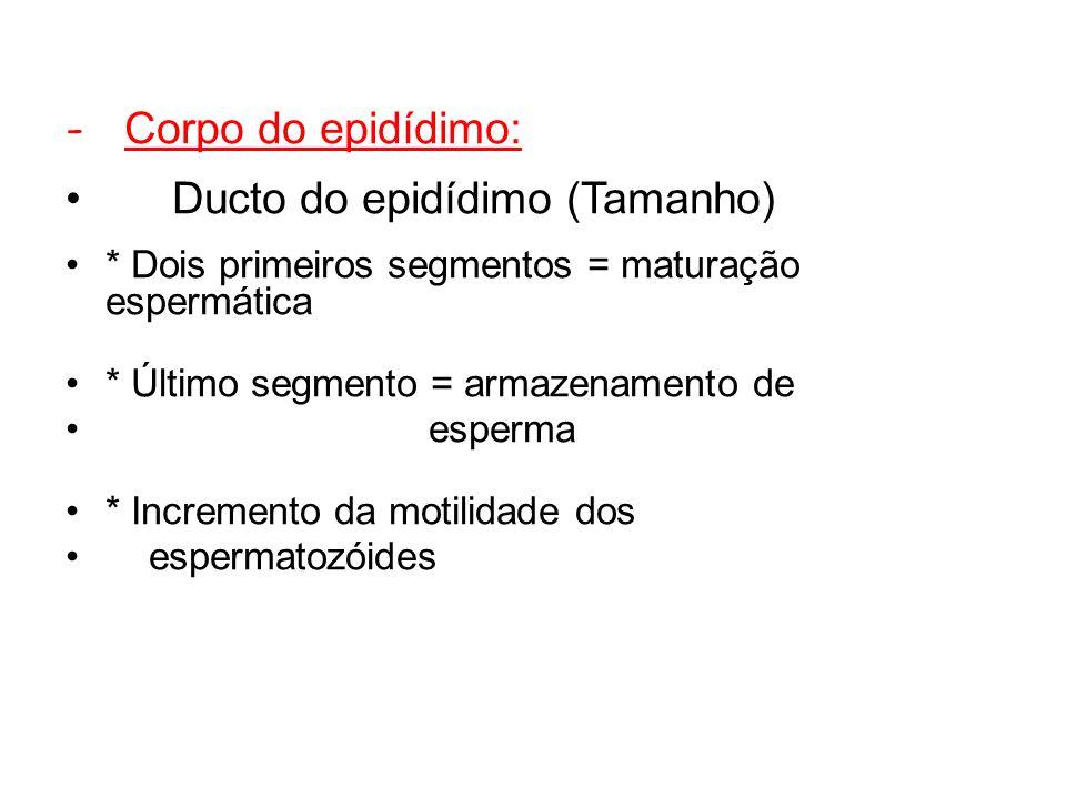 - Corpo do epidídimo: Ducto do epidídimo (Tamanho) * Dois primeiros segmentos = maturação espermática * Último segmento = armazenamento de esperma * Incremento da motilidade dos espermatozóides