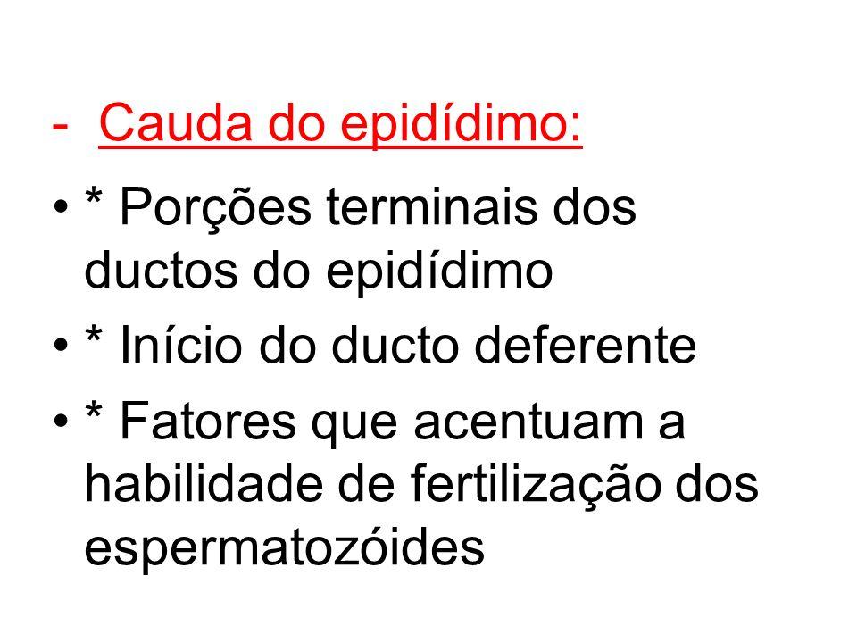 - Cauda do epidídimo: * Porções terminais dos ductos do epidídimo * Início do ducto deferente * Fatores que acentuam a habilidade de fertilização dos espermatozóides
