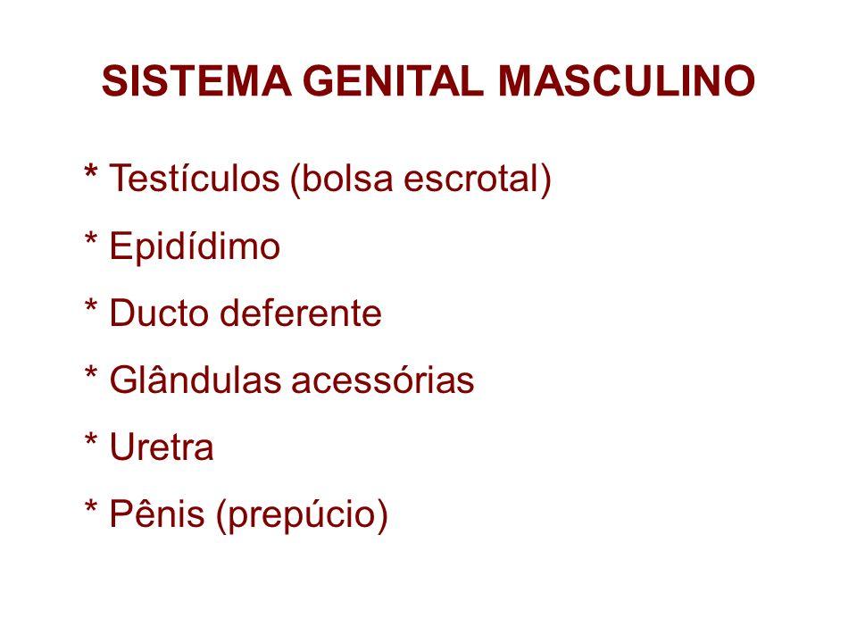 Testículos Localizam-se na região inguinal,dentro da bolsa escrotal São em par Testículo – gl.