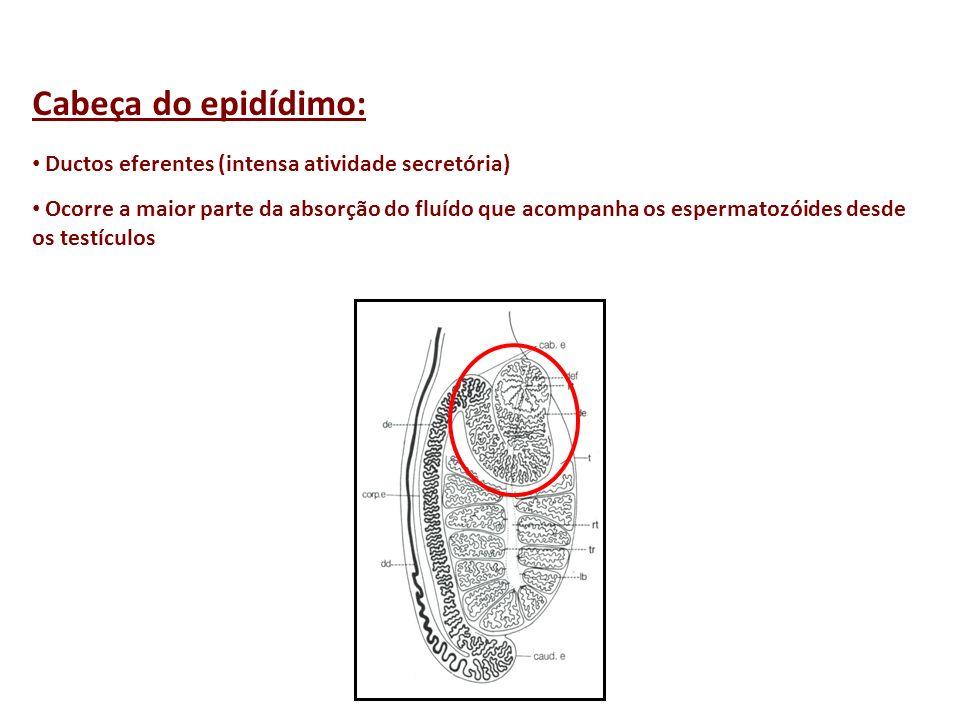 Cabeça do epidídimo: Ductos eferentes (intensa atividade secretória) Ocorre a maior parte da absorção do fluído que acompanha os espermatozóides desde